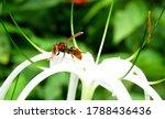 giant hornet on a witre flower,hornet species.                                 - stock photo