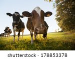 Curious Cows Grazing In A Fiel...