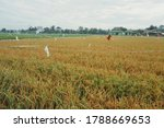 Close Up Of Golden Rice Plant...