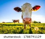 Nice Cow At A Farm   Bavaria