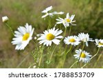 white and yellow daisies in... | Shutterstock . vector #1788853709