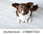 white and brown corgi dog on... | Shutterstock . vector #1788857333