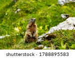 A Marmot Is Watching Us. In The ...