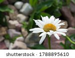 white and yellow chamomile on a ... | Shutterstock . vector #1788895610