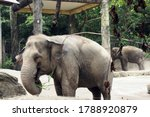 A Large Elephant Eats Cane...
