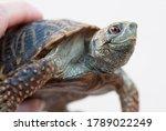 Ornate Box Turtle Being Held