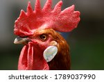 Big Close Up Of A Rooster