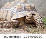 Sulcata Tortoise Outside In...