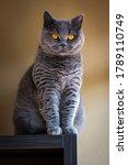 Gray British Shorthair Cat...