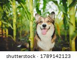 Welsh Corgi Pembroke Dog...