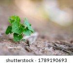 Ivy Gourd Vine Naturally...
