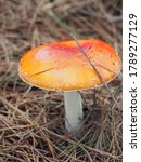 Orange And White Toad Stool In...