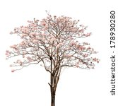 Pink Tabebuia On White...