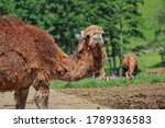 Dromedary Camel also called Somali or Arabian Camel in Czech Farm Park. Camelus Dromedarius is a Large Even-Toed Ungulate with One Hump on its Back.