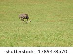 An Ostrich Eating Grass In The...