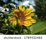 Sunflower Bud Half Opening ...
