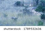 Blesbuck Obscured In Long Grass ...
