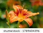 Lilium Bulbiferum  Common Names ...