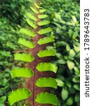 Small photo of Adiantum trapeziforme, the giant maidenhair or diamond maidenhair, is a species of fern in the genus Adiantum, native to the tropical rainforests of Central and South America.