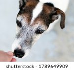 Very Old Jack Russell Terrier...