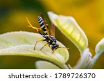 Wasp. Macro Photo. Wasp On A...