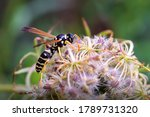 Wasp On A Flower. Macro Photo....