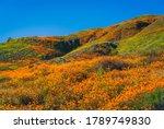 Fields Of Golden Poppies In...