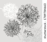 Allium Bulbs Flowers. Hand...