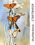 Monarch Butterflies Basking On...
