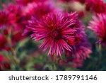 Purple Chrysanthemums On A...