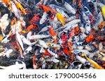 Fish Or Fancy Colorful Carps...