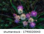 White Purple Flowers Of...