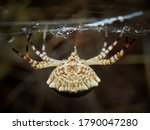 Tiger Spider In A Natural...