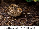 king quail  coturnix chinensis  | Shutterstock . vector #179005634