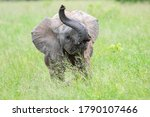 African Elephant Photographed...