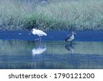 African Spoonbill Wading Past...