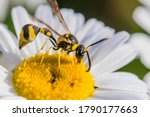 Wasp On A Camomile. Macro Phot...