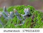 Xylaria hypoxylon is a species...