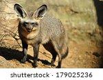bat eared fox | Shutterstock . vector #179025236