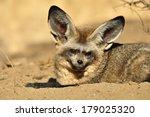 bat eared fox | Shutterstock . vector #179025320