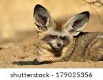 bat eared fox | Shutterstock . vector #179025356