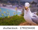 Seagull With Grass In Its Beak...