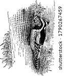 Yellow Bellied Woodpecker Is A...