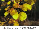 Yellow Autumn Leaves In...