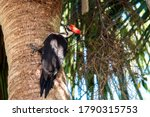 Pileated Woodpecker Taken In...