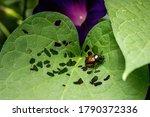 Japanese Beetle Eating Holes In ...