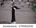 Canada Goose On A Path...