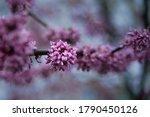 Redbud Tree Blossom On Cold...
