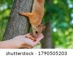 Red Squirrel Eats Nuts From A...