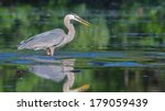 Great Blue Heron Fishing In The ...